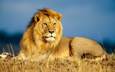 lion-hd-wallpapers